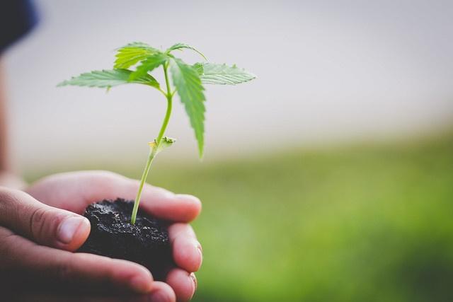 Farmer Holding a Cannabis Plant, Farmers are planting marijuana
